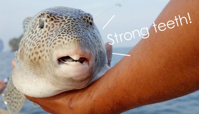 フグの強靭な歯